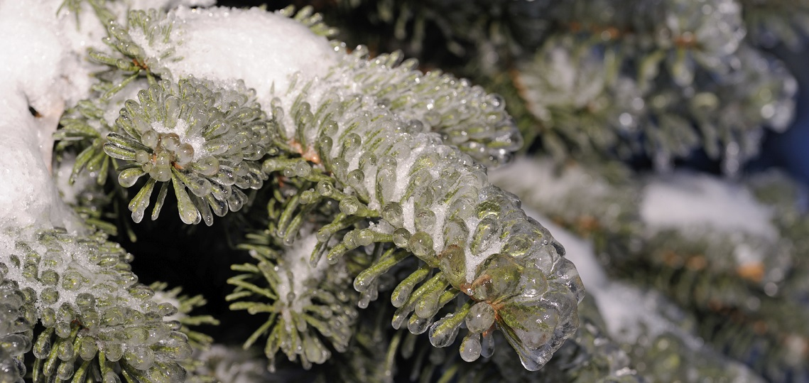 evergreen branch covered in snow